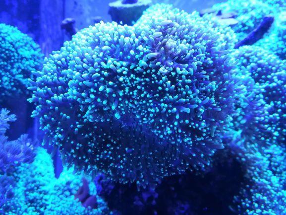 Rhodactis indosinensis FLUO green mushroom