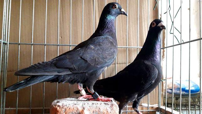 Gołębie pocztowe. Czarne para nr3 lot