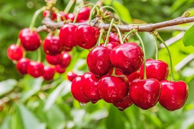 HERBARIUSZ - Czereśnia SUMMIT - Późna, deserowa, słodki owoc GK