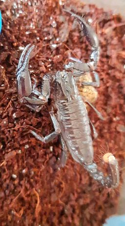 Скорпіон heterometrus laoticus