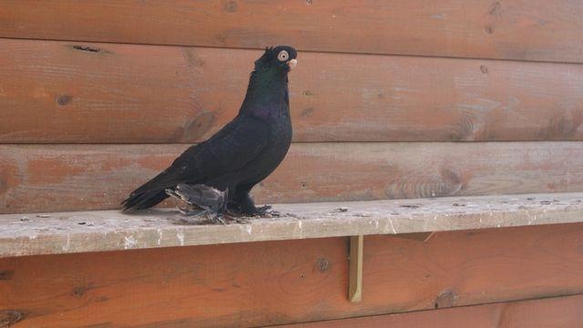 Wywrotek wywrotki samiec 2019 gołębie ozdobne