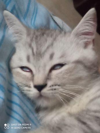 Котенок, скотиш, вискасного окраса