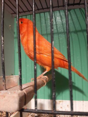 Kanarki samce czerwone