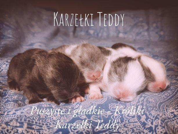 Króliki Karzełki Teddy 1 kg w dorosłości