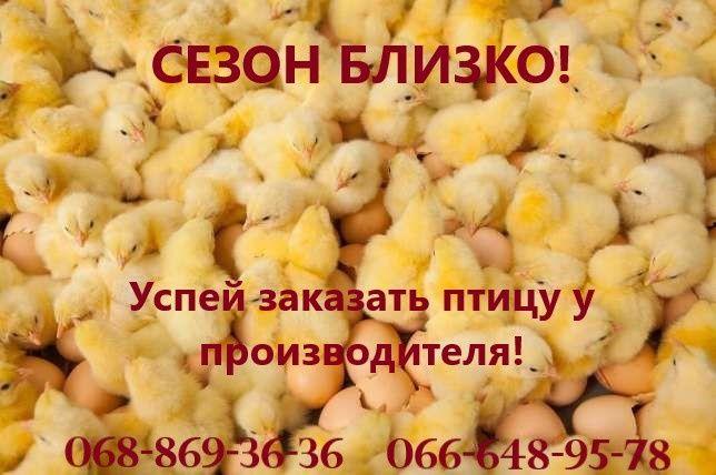 Цыплята бройлеры по супер ценам от производителя! Гарантия качества