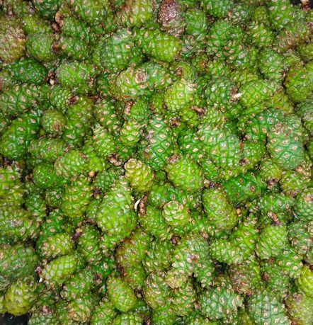 Зеленые сосновые шишки молодые шишки сосны