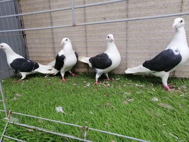 Gołębie. Śląskie tarczowe czarne. Pocztowe tarczowe