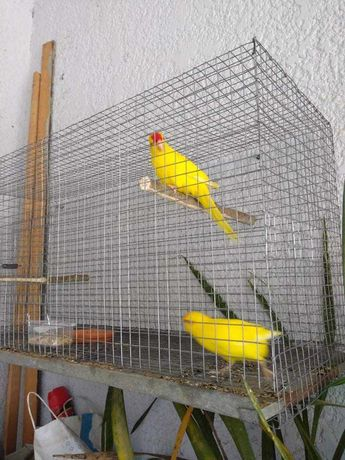 Kakarikis amarelas