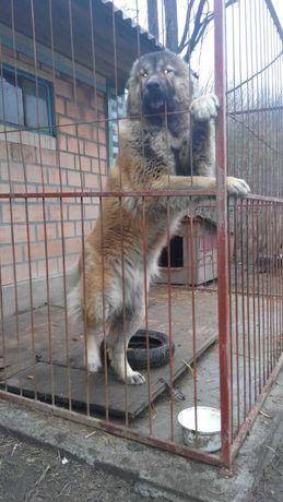 Кавказька вівчарка в'язка