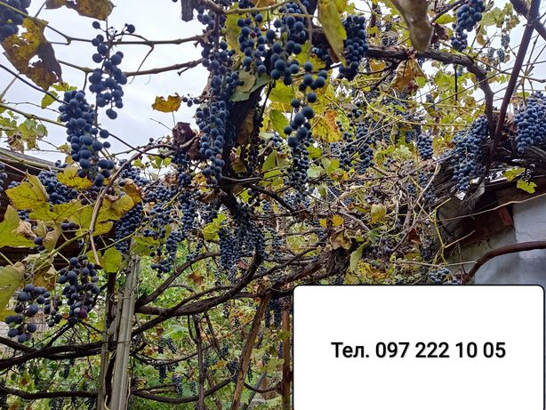 Виноград Бессараб сладкий