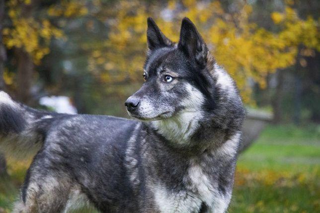 Afera - w typie husky, do adopcji