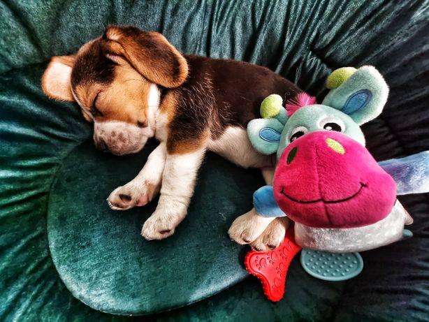 suczka beagle 8 tygodniowa