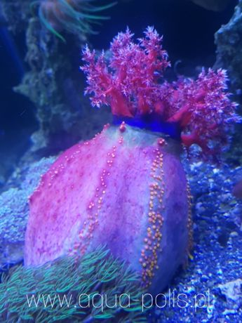 Pseudocolochirus axiologus - jabłko morskie akwarystyka morska