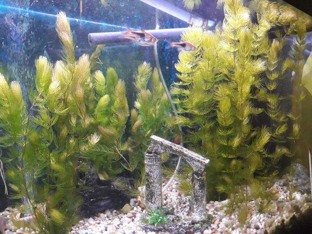 Rośliny akwariowe rogatek sztywny