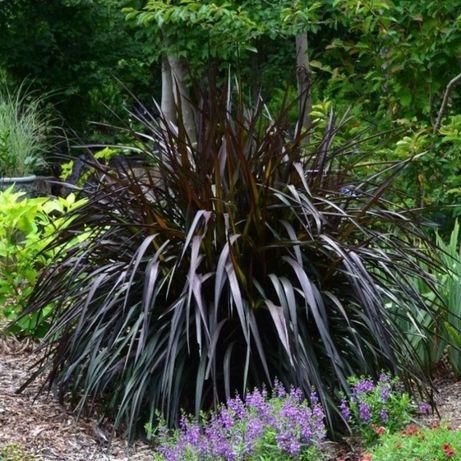 Rozplenica słoniowa Vertigo Pennisetum purpureum