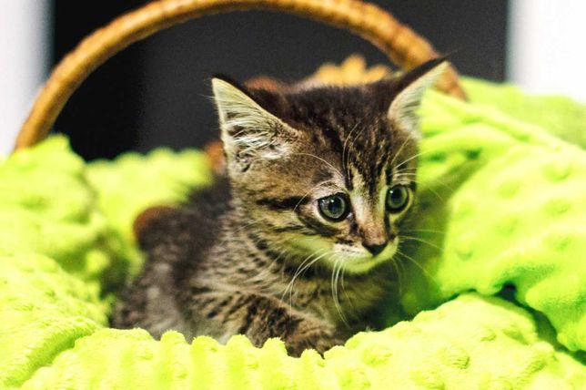 Красунчик Камишенок, хлопчик- кошеня 2 міс таббі, кіт кошка кот