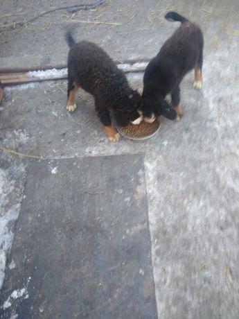 Berneński pies pasterski szczenięta