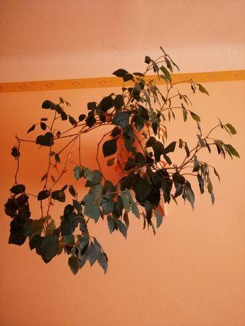 Cissus, aloes drzewiasty, ficus, anturium, scheflera, szczepka pilea .