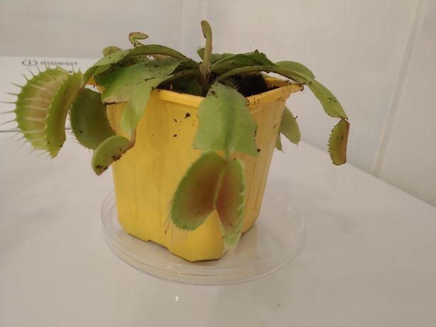 Rośliny owadożerne- muchołówka amerykańska