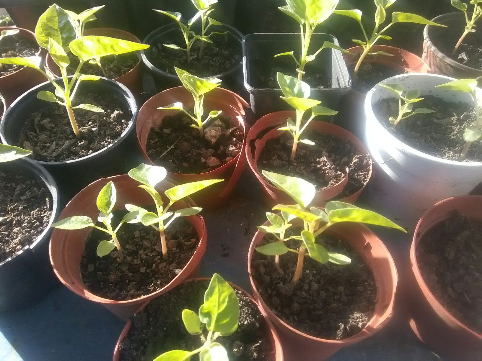 tamarilhos plantas