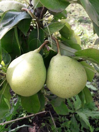 продам колоновидные деревья груши -яблони-персик- слива-абрикос-алыч