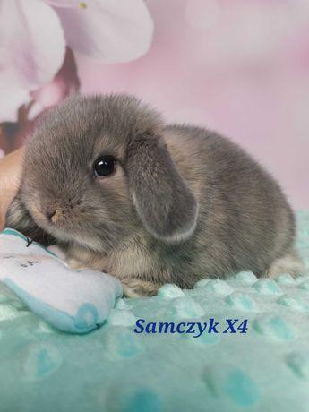 Królik króliczek mini lop hodowla zarejestrowana