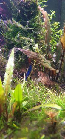 Niebieskie krewetki