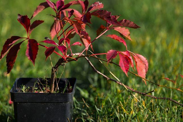 Winobluszcz Pięciolistkowy Murorum 20-30 cm, donica 1l