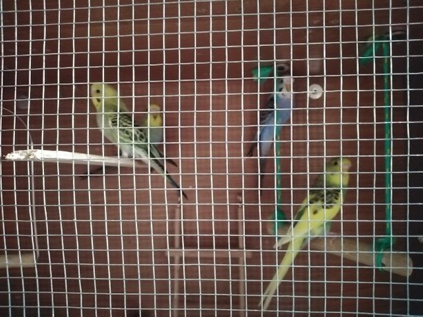 Sprzedam Papugi...
