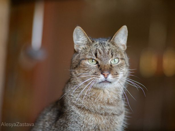 Ласковая благородная очень умная кот кастрирован