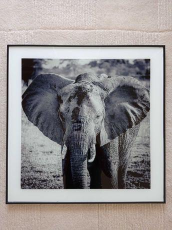 Rama obraz ramka ze zdjęciem słonia o wymiarach 50 cm na 50 cm