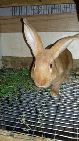 Кролики бургундці