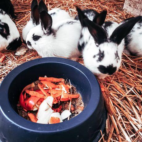 Młode króliki srokacz niemiecki