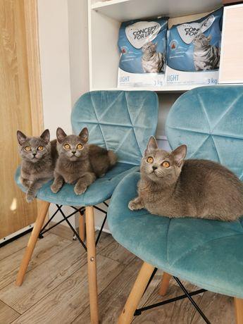 Kot Brytyjski piękne kotki i kocurki gotowe do odbioru