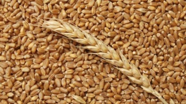 Пшеница (зерно).