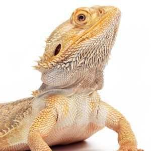 Agama Brodata - Jaszczurka dla Początkujących