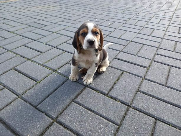Beagle tricolor szczenieta
