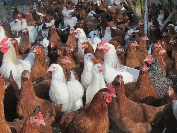 Młode kury nioski,kurki, kurczaki odchowane,kokoszki ogólnoużytkowe
