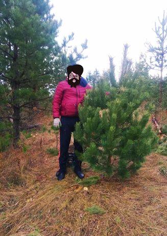 Новогодняя сосна(елка)оптом