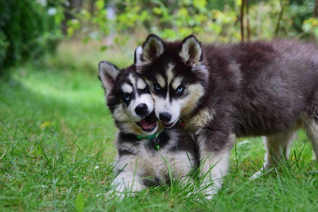 Siberian Husky szczeniaki