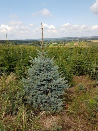 Swierk Srebrny Picea 100/125 PRODUCENT J.Kaukaska