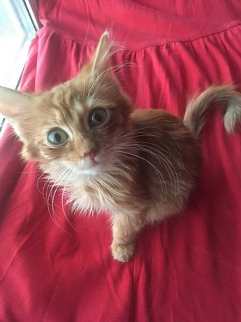Шукаю родину для пухнастого рудого кошеня