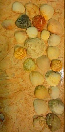 conchas médias e grandes do Algarve (Portimão)