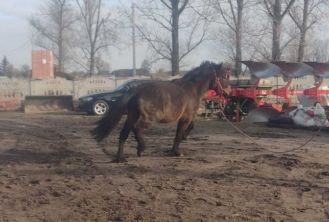 Koń Hucuł 4 lata
