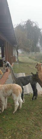 Alpaki z Chile i Nowej Zelandii