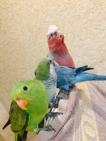 Попугаи Одесса