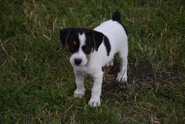 Suczka TRICOLOR Jack Russel Terrier