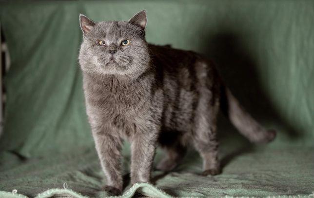 Отдам кота британца, кастрирован, привит , 7 лет