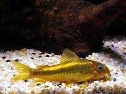 Kirysek Goldstripe, ryba ok 3,5 cm; nowy Sklep AKWAREKS Kraków