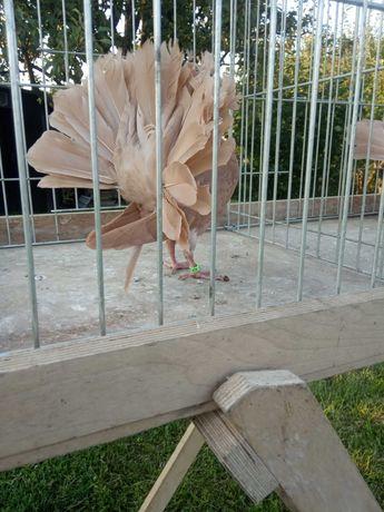 Żółte pawiki gołębie